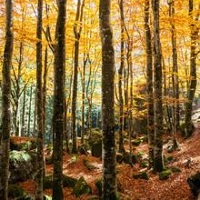 las bukowy jesienią