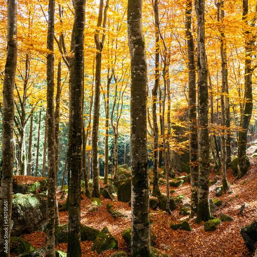 Fototapeta faggeto in autunno