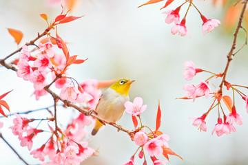 White-eye bird and cherry blossom or sakura