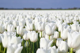 field with white tulips
