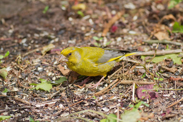 Greenfinch chloris chloris feeding on ground. Lancashire