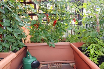 pots for growing tomatoes in a terrace of an apartment in the ci