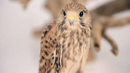 young chick hawk sitting on a wooden driftwo