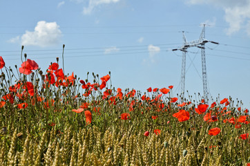Poppies, Wheat and Power Pole