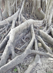 Roots of old trees for decades.