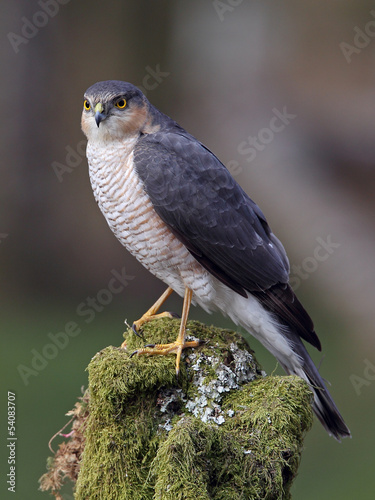 Sparrowhawk on tree