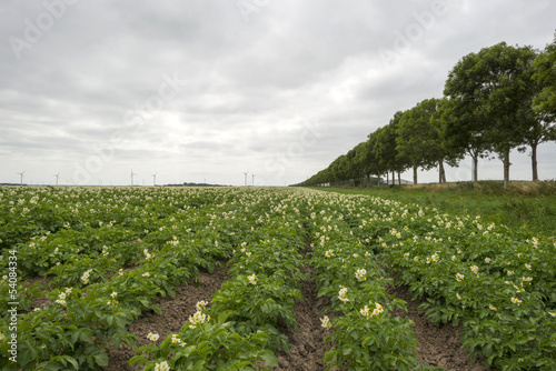 Potatoes growing on a field in summer