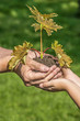 tree planting - hands with a little tree - ecology concept