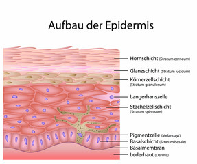 Aufbau der Epidermis