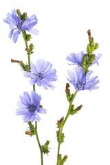 Gewöhnliche Wegwarte (Cichorium intybus) - vor weißem Hintergr