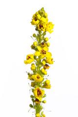 Schwarze Königskerze (verbascum nigrum) - Blüte auf weißem Hi