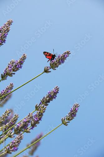 Widderchen auf Lavendel