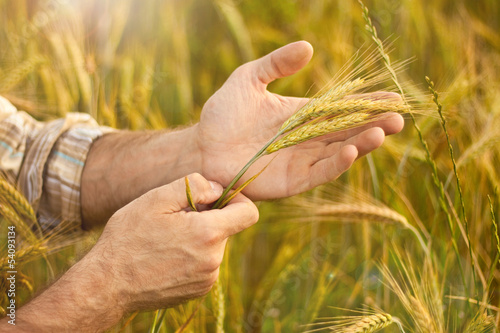 Wheat ears in farmer hands close up