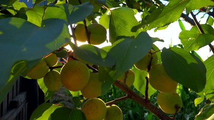 branch full of apricots in the breeze