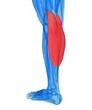 Calves - Anatomy Muscles