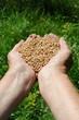 Farmer hands full of wheat
