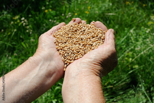 Farmer hands full of wheat