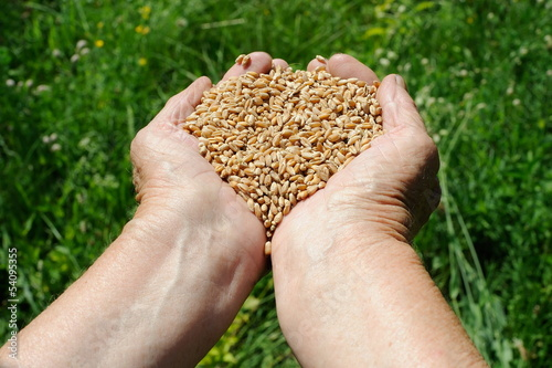Farmer hands full of ripe wheat seeds