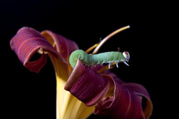 Green caterpillar reaching out.