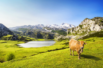 Cow in the Ercina lake (lakes of Covadonga), Asturias, Spain