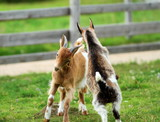 young goats fighting