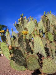 Arizona Nopal Cactus