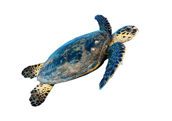 Hawksbill sea turtle (Eretmochelys imbricata), on white.