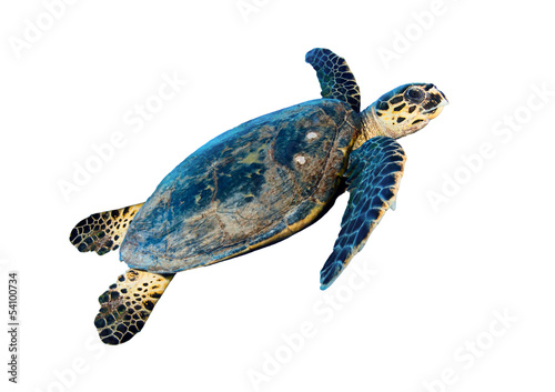 Foto op Canvas Schildpad Hawksbill sea turtle (Eretmochelys imbricata), on white.