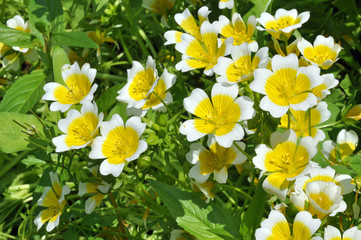 Limnanthes, Poached Egg Plant