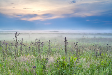 wildflowers on meadow at misty sunrise