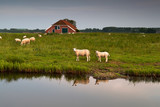 sheep herd at farm by river