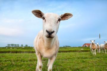 cute funny sheep close up