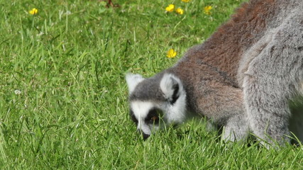 Ring-tailed lemurs (Lemur catta) foraging on the ground