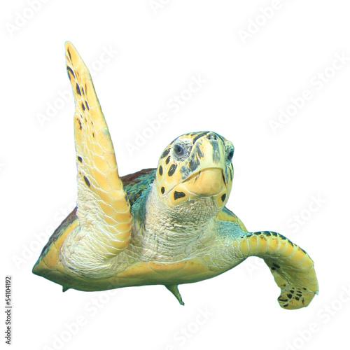 Obraz na płótnie Hawksbill żółw morski na białym tle