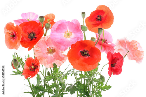 Different corn poppys, isolated