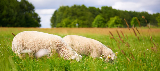 Two adult sheep grazing in a spring pasture
