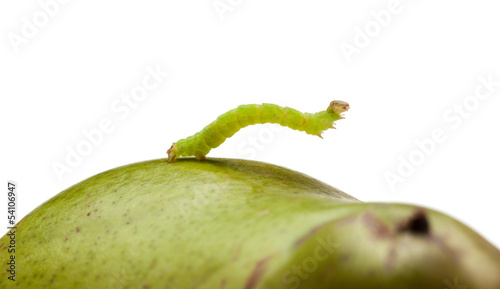 Side view of inchworm on pear