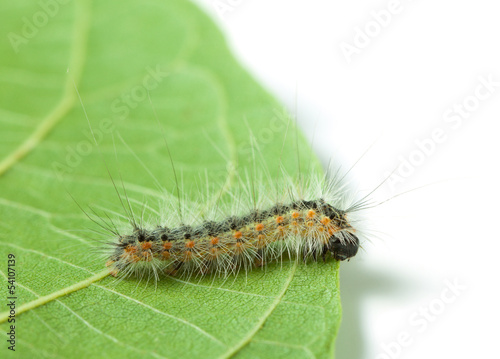 Vermin moth caterpillar