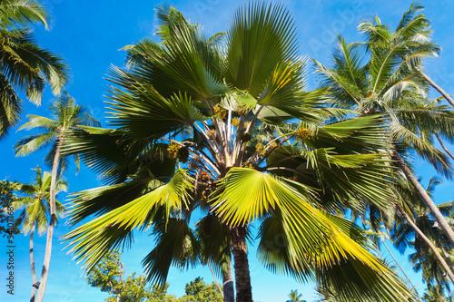 palmier latanier