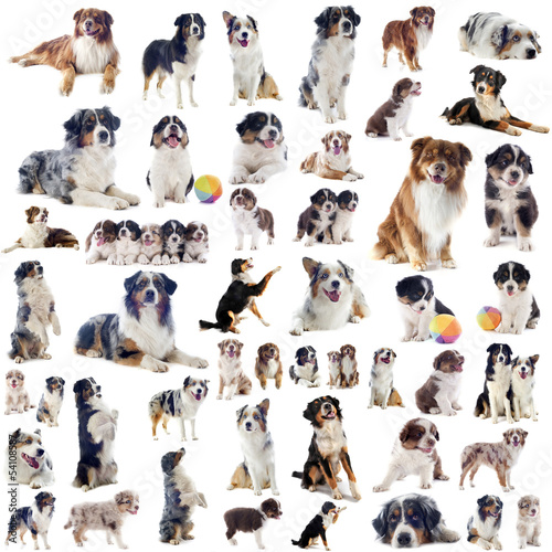 chiens  berger australien