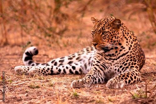 Fototapeten,afrikanisch,leopard discus,afrika,aufgebracht