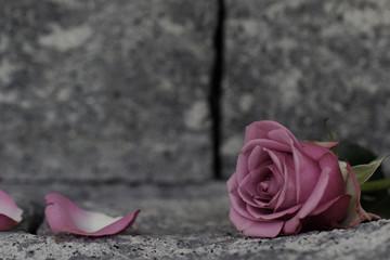 Rose auf einer Mauer