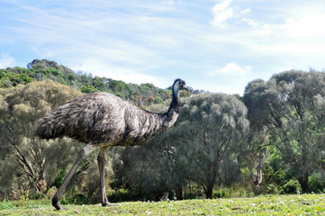 Australian emu at Tower Hill wildlife reserve (Australia)