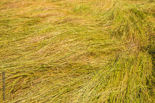 Detailed view of a field with blown down grass for the grass see