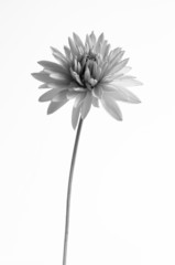 black and white flower image
