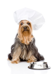 Yorkshire Terrier in chef's hat begging for food. isolated