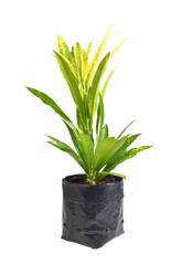 "Codiaeum variegatum (""garden croton"" or ""variegated croton""; syn"