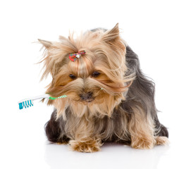 Yorkshire Terrier with a toothbrush. isolated on white