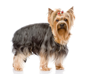 Yorkshire Terrier  looking at camera. isolated on white