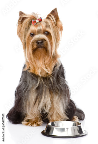 Yorkshire Terrier  begging for food. looking at camera. isolated